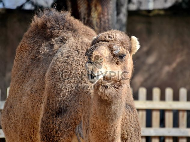 dromedary on farm - Free image #329041