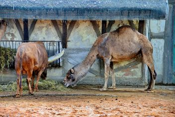 dromedary on farm - Free image #329051