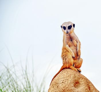 Meerkat in park - Free image #330231