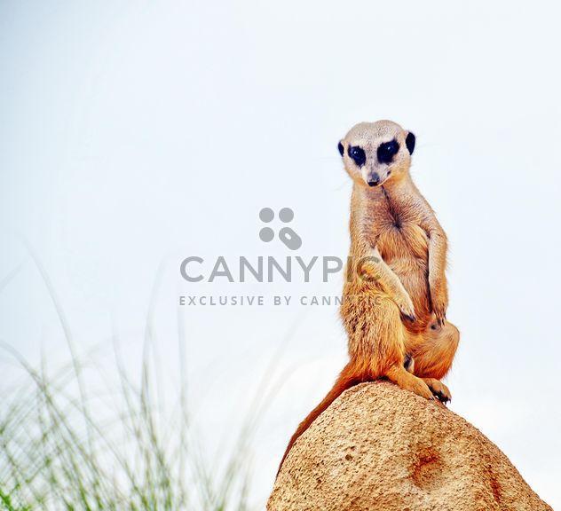 Meerkat in park - image #330231 gratis