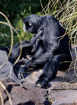 Siamang gibbon female with a cub - бесплатный image #330251