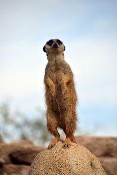 Meerkats in park - Kostenloses image #330261