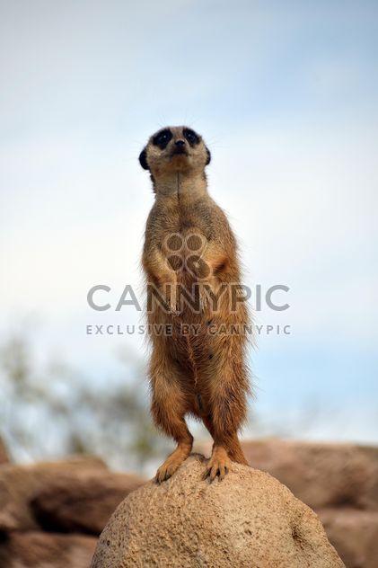 Meerkats in park - image gratuit #330261