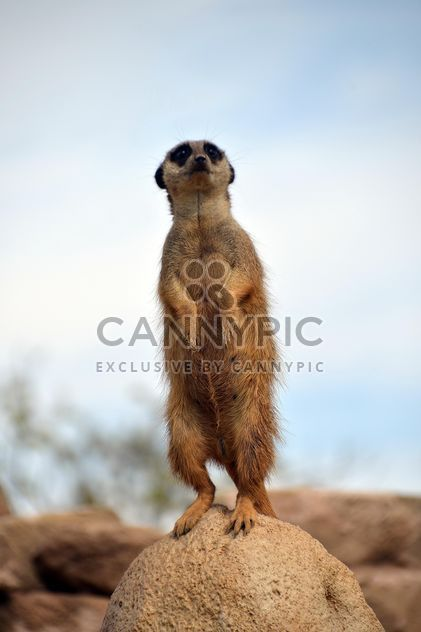 Meerkats in park - Free image #330261