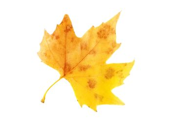Yellow autumn maple leaf - image #330421 gratis
