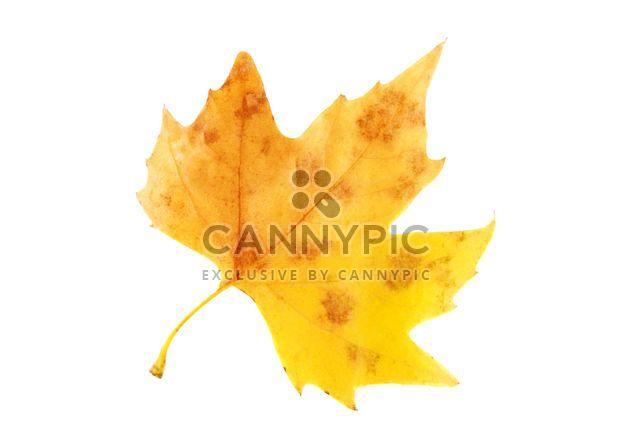Feuille d'érable automne jaune - image gratuit #330421