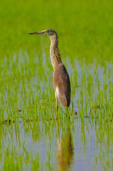 Pelican in rice - image #330661 gratis