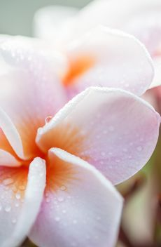 Close up of Plumeria - image gratuit #330851