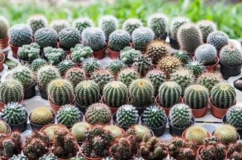 Potted cactuses - Free image #330881