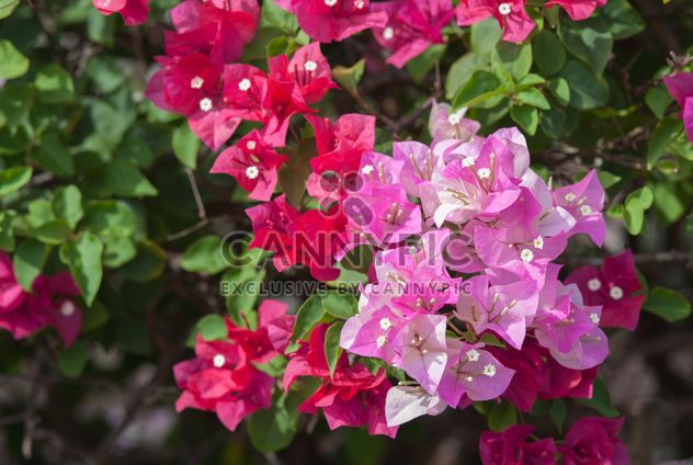 Bush de buganvillas de color rosa brillante - image #330891 gratis