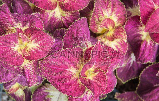 Laub von Rosa Pflanzen - Free image #330971