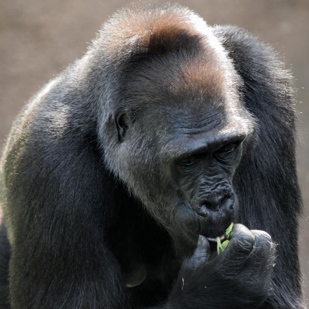 Gorilla eats green in park - Free image #333171