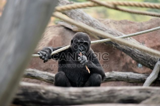 Gorilla on rope clibbing in park - image #333181 gratis