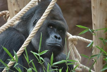 Gorilla on rope clibbing in park - image #333201 gratis