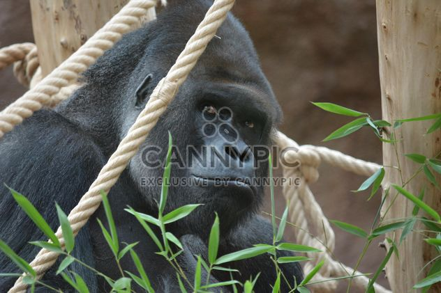Gorilla on rope clibbing in park - Kostenloses image #333201