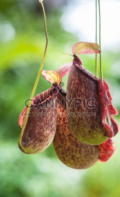 Nepenthes ampullaria, a carnivorous plant -  image #333281 gratis