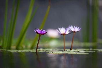 Lotus Flowers - image #334371 gratis