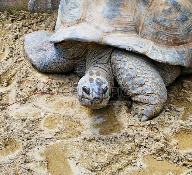 Portrait of Giant turtle - Free image #334731