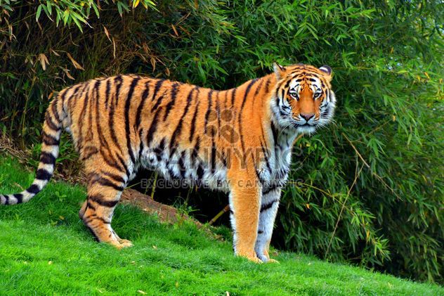 tiger in park - Free image #334791