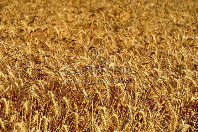 Golden wheat field - Free image #334801