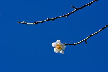 Plum Blossom - Free image #334951