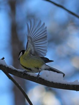 Titmouse with spread wings - бесплатный image #335021