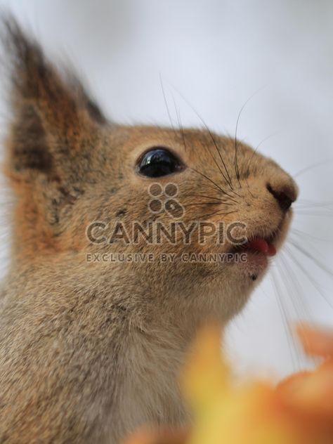 Écureuil, manger des noix - Free image #335041