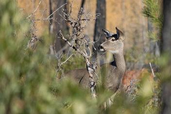 Mule Deer Doe - Free image #336311