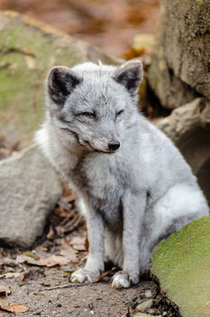 Arctic Fox - image #336331 gratis