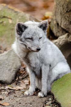 Arctic Fox - Free image #336331