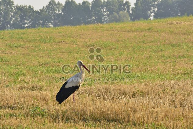 Stork in summer field - Free image #337491