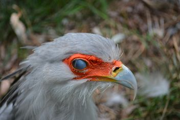 Portrait of secretary bird - Free image #337501