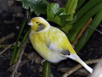 Saffron Finch - image gratuit #337791