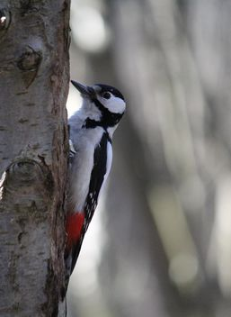 Woodpecker on tree in park - image gratuit #337811