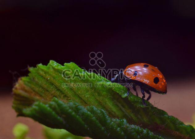 Ladybug on green leaf - Free image #338301