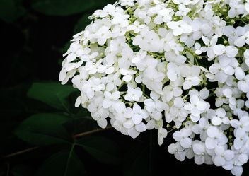 Closeup of white flowers - image gratuit #338311