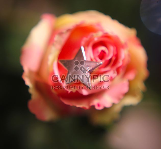 Rose with decorative star - Free image #339221