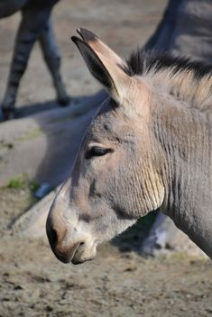 Portrait of brown donkey - image gratuit(e) #341311
