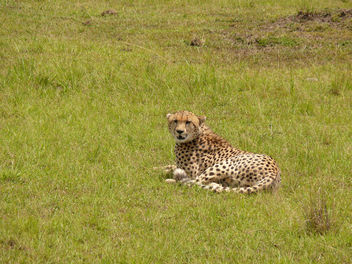 Cheetah Resting before the Chase ! - Free image #341441