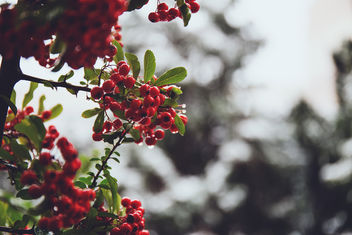 Rowan in December - Free image #342441