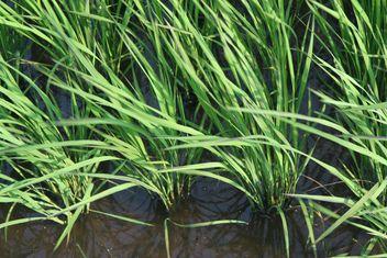 Rice Paddy in Kawaguchi, Japan - Free image #342911