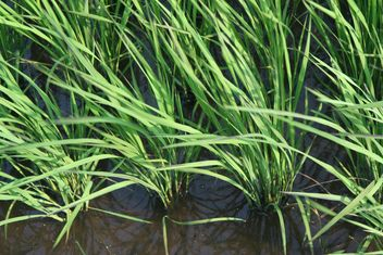 Rice Paddy in Kawaguchi, Japan - image #342911 gratis