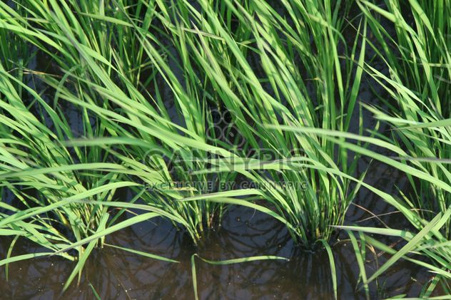Plantação de arroz em Kawaguchi, Japão - Free image #342911