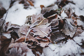 Frozen leaves - Free image #343481