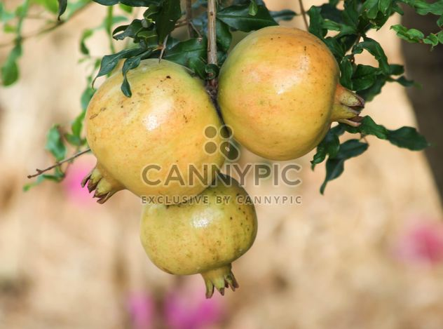 Fresh Pomegranates on tree - Free image #343551