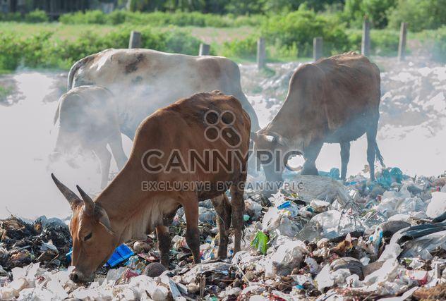 vacas en relleno sanitario - image #343841 gratis