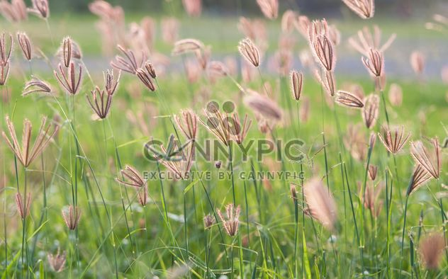 Close-up of spikelets on green background - Free image #343851