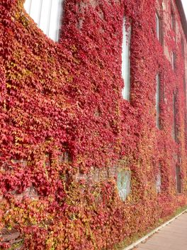Facade of building covered with red ivy - бесплатный image #346211