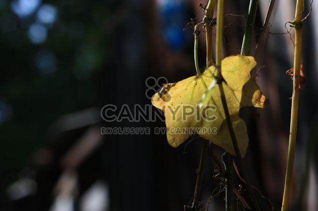 Gros plan de la feuille de vigne jaune - image gratuit(e) #346611