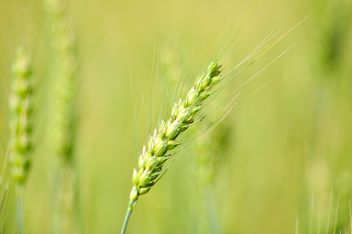 Closeup of spikelet in green field - бесплатный image #346621
